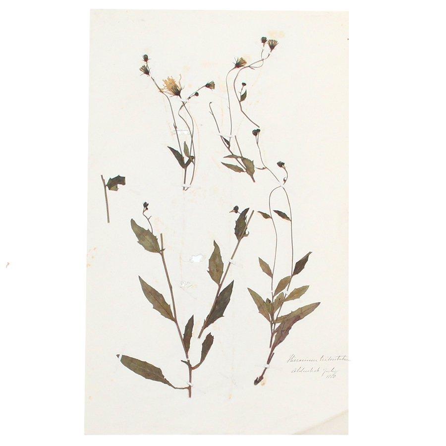 【30%OFF】アンティーク  押し花 植物標本 1888年 イギリス