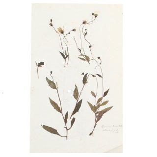 アンティーク  押し花 植物標本 1888年 イギリス