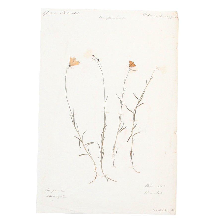 【30%OFF】アンティーク  押し花 植物標本 1880年代 イギリス