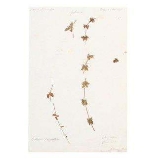 アンティーク  押し花 植物標本 1858年 イギリス