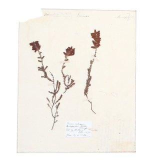 アンティーク  押し花 植物標本 1878年 イギリス