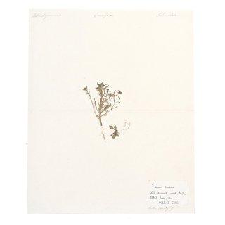 アンティーク  押し花 ボタニカルアート 1880年 イギリス