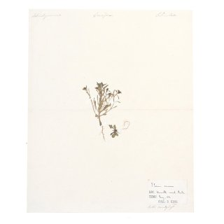 アンティーク  押し花 植物標本 1880年 イギリス