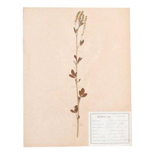 アンティーク  押し花 植物標本 1928年 フランス