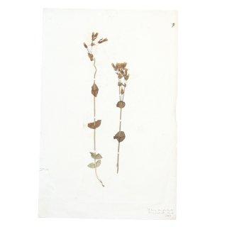 アンティーク  押し花 植物標本 1882年 イギリス