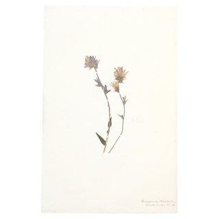 アンティーク  押し花 植物標本 1800年代 イギリス