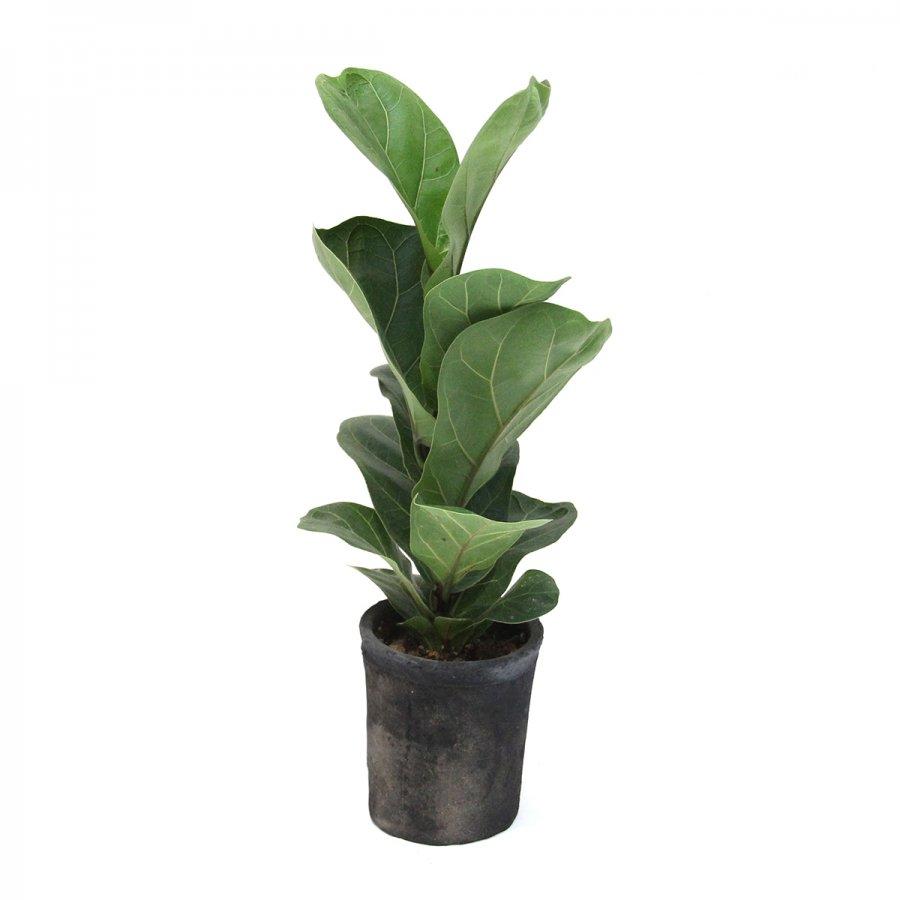 カシワバゴム  Ficus lyrata  モスポ...