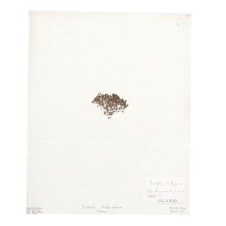 アンティーク  押し花 植物標本 1875年