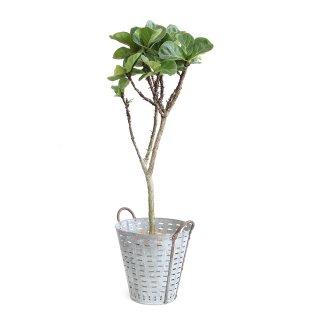カシワバゴム  Ficus lyrata