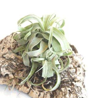 エアプランツ ストレプトフィラ チランジア Tillandsia streptophylla