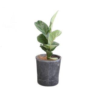 【50%OFF】カシワバゴム  Ficus lyrata  モスポット入