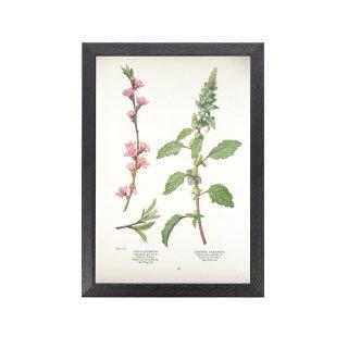 1924年代 アメリカ アンティーク ボタニカル アート 植物画 桃の花 アマランス フレームセット