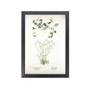 1924年代 アメリカ アンティーク ボタニカル アート 植物画  ツルアリドオシ Houstonia pusilla フレームセット