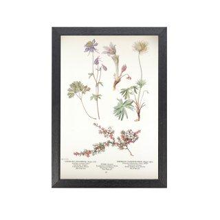1924年代 アメリカ アンティーク ボタニカル アート 植物画 コランバイン PYXIE オキナグサ フレームセット