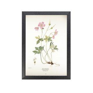 1924年代 アメリカ アンティーク ボタニカル アート 植物画 ゼラニウム フレームセット