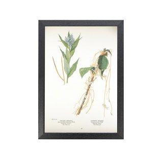 1924年代 アメリカ アンティーク ボタニカル アート 植物画 チョウジソウ属 ネナシカズラ属 フレームセット