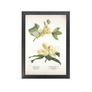 1924年代 アメリカ アンティーク ボタニカル アート 植物画 チューリップツリー 泰山木 フレームセット
