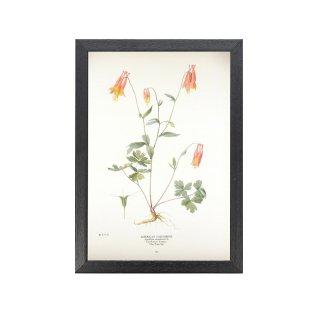 1924年代 アメリカ アンティーク ボタニカル アート 植物画 アクイレギア フレームセット