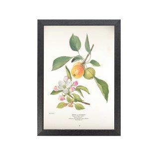 1924年代 アメリカ アンティーク ボタニカル アート 植物画 アップル フレームセット