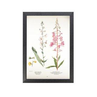 1924年代 アメリカ アンティーク ボタニカル アート 植物画 モウズイカ属 blooming sally フレームセット