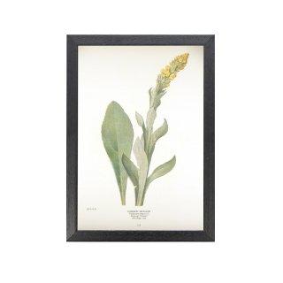 1924年代 アメリカ アンティーク ボタニカル アート 植物画 ビロードモウズイカ フレームセット