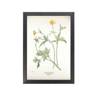 1924年代 アメリカ アンティーク ボタニカル アート 植物画 Ranunculus septentrionalis フレームセット