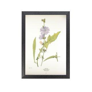 1924年代 アメリカ アンティーク ボタニカル アート 植物画 キクニガナ フレームセット