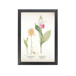 1924年代 アメリカ アンティーク ボタニカル アート 植物画 Platanthera ciliaris シプリペディウム・レギナエ フレームセット