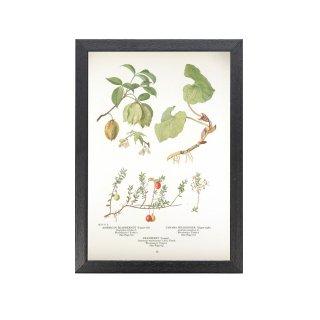 1924年代 アメリカ アンティーク ボタニカル アート 植物画 クランベリー ジンジャー フレームセット