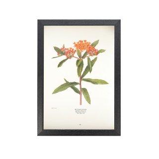 1924年代 アメリカ アンティーク ボタニカル アート 植物画 ヤナギトウワタ フレームセット