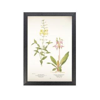 1924年代 アメリカ アンティーク ボタニカル アート 植物画 クサレダマ シューティングスター フレームセット