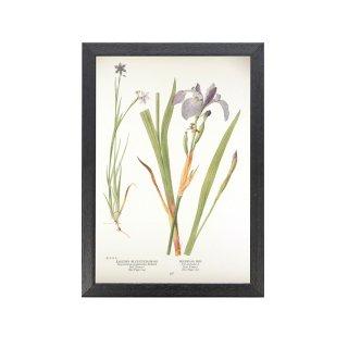1924年代 アメリカ アンティーク ボタニカル アート 植物画 庭石菖 アヤメ フレームセット