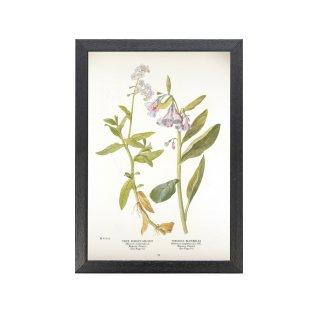 1924年代 アメリカ アンティーク ボタニカル アート 植物画 シンワスレナグサ Mertensia virginica フレームセット