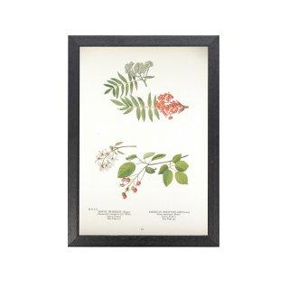 1924年代 アメリカ アンティーク ボタニカル アート 植物画 バラ科 フレームセット