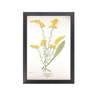 1924年代 アメリカ アンティーク ボタニカル アート 植物画 アキノキリンソウ フレームセット