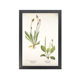 1924年代 アメリカ アンティーク ボタニカル アート 植物画 ヘラオオバコ Rugels フレームセット