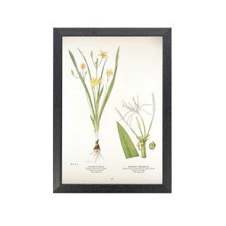 1924年代 アメリカ アンティーク ボタニカル アート 植物画 キンバイサザ キジカクシ フレームセット