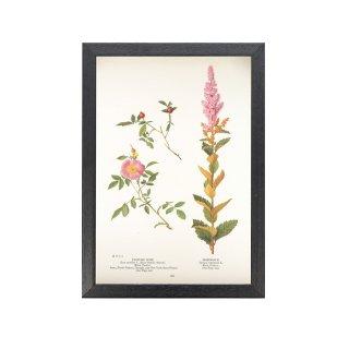 1924年代 アメリカ アンティーク ボタニカル アート 植物画 バラ シモツケ フレームセット