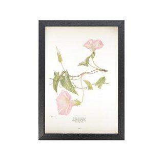 1924年代 アメリカ アンティーク ボタニカル アート 植物画 ヒロハヒルガオ フレームセット