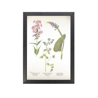 1924年代 アメリカ アンティーク ボタニカル アート 植物画 フロックス・ディバリカタ 花忍 ミズアオイ フレームセット