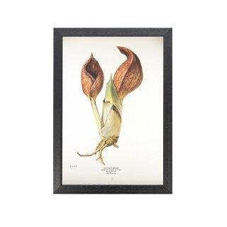 1924年代 アメリカ アンティーク ボタニカル アート 植物画 座禅草 フレームセット