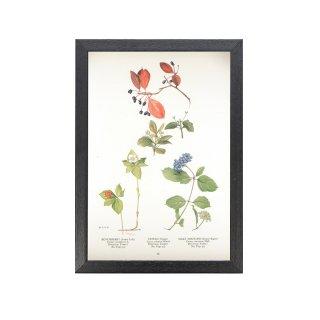 1924年代 アメリカ アンティーク ボタニカル アート 植物画 ゴゼンタチバナ ヌマミズキ  フレームセット