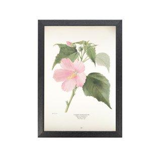 1924年代 アメリカ アンティーク ボタニカル アート 植物画 アメリカフヨウ フレームセット