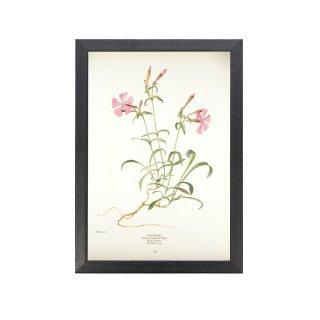 1924年代 アメリカ アンティーク ボタニカル アート 植物画 マンテマ フレームセット