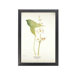 1924年代 アメリカ アンティーク ボタニカル アート 植物画 Sagittaria latifolia フレームセット