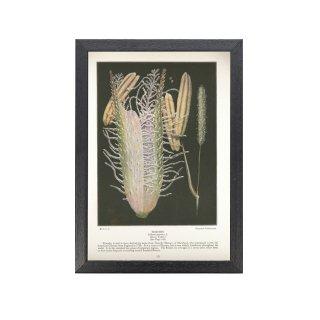 1924年代 アメリカ ヴィンテージ ボタニカル アート 植物画 オオアワガエリ フレームセット