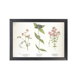 1924年代 アメリカ アンティーク ボタニカル アート 植物画 リンドウ フレームセット