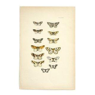 イギリス アンティーク アート 蝶 バタフライ ハンドカラープリント Plate127