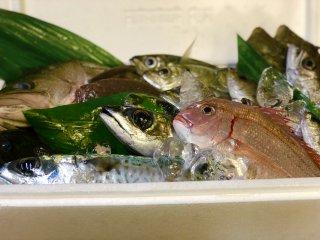 【朝獲れ鮮魚 地魚1万円セット】 〜 定置網 こがね水産直送 〜