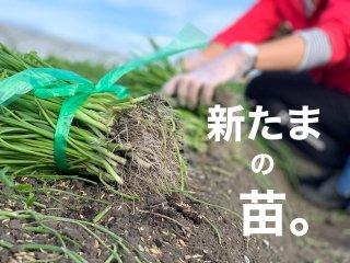 お家で冬の新たまを育てよう、野口ファームの苗【届いたらすぐに植付してね♪】【mama-yasaiプロジェクト】